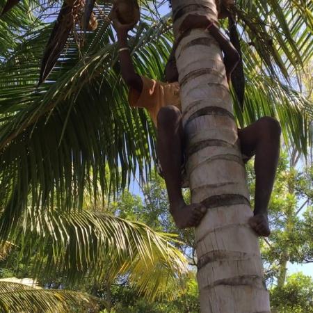De kokosbomen aan de muur dragen volop vrucht.